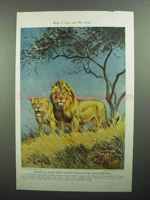 1943 Lion Illustration by Walter A. Weber, King of Cats