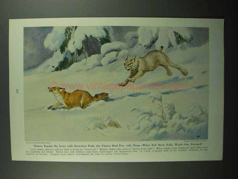 1943 Lynx Illustration by Walter A. Weber