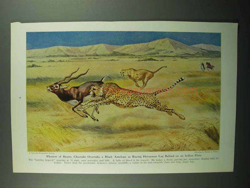 1943 Cheetah Illustration by Walter A. Weber