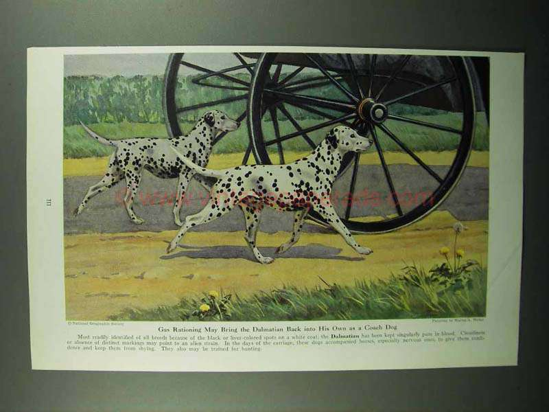 1943 Dalmation Illustration by Walter A. Weber