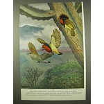 1954 Black-collared Barbets Print - Walter A. Weber