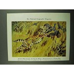 1943 Serval Illustration - Walter A. Weber
