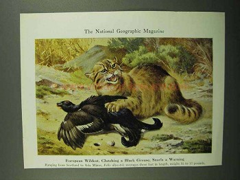 1943 European Wildcat Illustration - Walter A. Weber