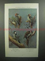 1933 Bird Illustration by Allan Brooks - Texas Woodpecker