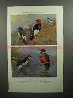 1933 Bird Illustration by Allan Brooks - Woodpecker