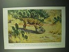 1943 Texas Ocelot illustration by Walter A. Weber Ad
