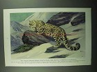 1943 Snow Leopard Illustration by Walter A. Weber