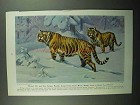 1943 Siberian Tiger Illustration by Walter A. Weber