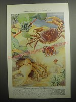 1937 Illustration by Else Bostelmann Ad - Land crabs make annual pilgrimages