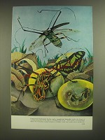 1958 Illustration by Guy Neale - Long-armed harlequin beetles