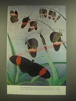 1958 Illustration by Guy Neale of erato butterflies - Like pendant blossoms
