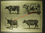 1887 Illustration of types of Cattle from Different Lands