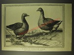 1887 Illustration of a pair of Toulouse Geese