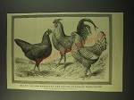 1887 Illustration by J Payne - Black, Golden-pencilled, silver-spangled Hamburgh