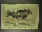 1887 Illustration of The Holstein-Friesian Heifer Albino 2d