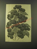 1887 Illustration of Black Cap Raspberry