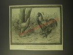 1887 Illustration by J Payne Ad - Begum Pilly Gaguze Fowls of India