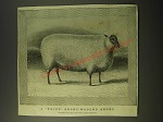 1887 Illustration of a Prize Short-wooled sheep