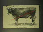 1887 Illustration of prize brown Schwytzer Cow