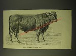 1887 Illustration of prize brown Schwytzer Bull