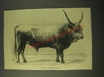 1887 Illustration of a typical Podolian Bull