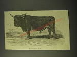 1887 Illustration of a native kerry bull