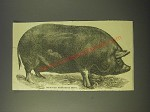 1887 Illustration of an improved Berkshire Boar