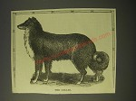 1887 Illustration of a Collie
